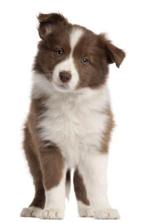 Border Collie puppy, 8 weeks old, standing in front of white background photo