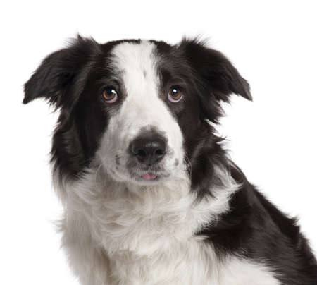 Close-up of Border Collie, 7 months old, in front of white background photo