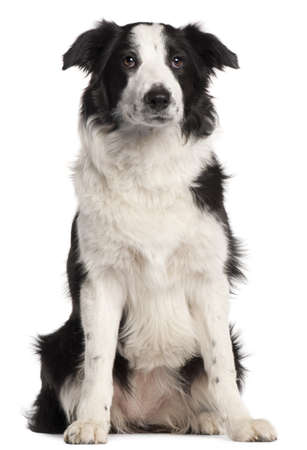 Border Collie, 7 months old, sitting in front of white background photo