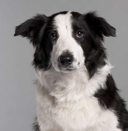 Close-up of Border Collie, 7 months old, in front of grey background photo