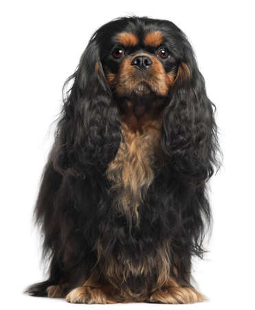 Cavalier King Charles Spaniel, 2 years old, in front of white background photo