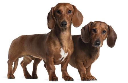 Dachshunds, 4 years old and 7 months old, standing in front of white background photo