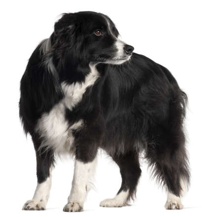 Border Collie, 9 years old, standing in front of white background photo