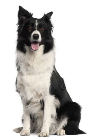 Border Collie, 4 years old, sitting in front of white background Stock Photo - 9563788