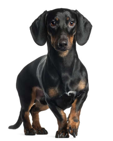 dachshund: Dachshund, 1 year old, standing in front of white background