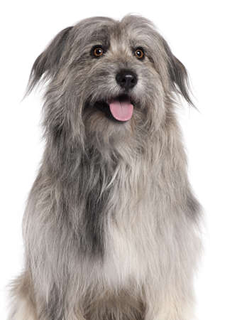 pyrenean: Pyrenean Shepherd dog, 18 months old, sitting in front of white background