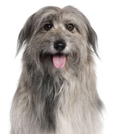 pyrenean: Close-up of Pyrenean Shepherd dog, 18 months old, in front of white background