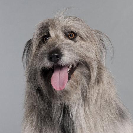 pyrenean: Close-up di cane da pastore dei Pirenei, 18 mesi di et�, di fronte a sfondo grigio