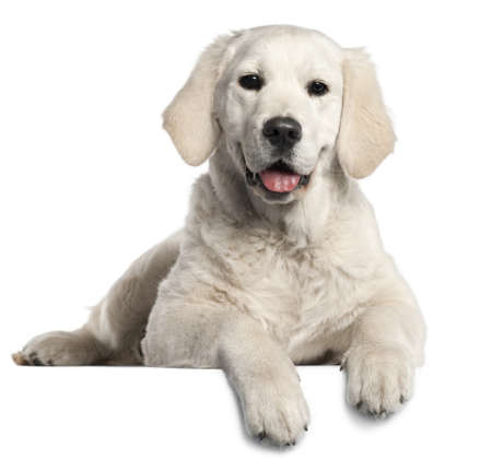 Golden Retriever puppy, 5 months old, lying in front of white background photo