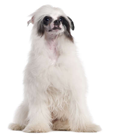 Chinese Crested Dog, 7 months old, sitting in front of white background photo