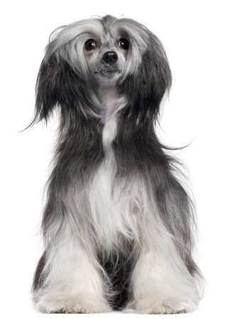 groomed: Chinese Crested Dog, 15 months old, sitting in front of white background Stock Photo