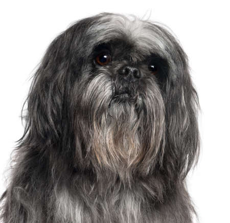 shih tzu: Close-up of Shih Tzu, 9 years old, in front of white background