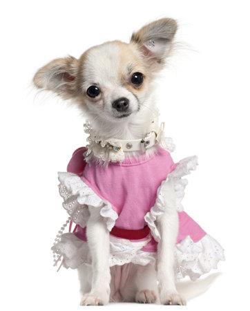 Chihuahua Welpen in rosa Kleid, 6 Monate alt, sitzt vor weißem Hintergrund