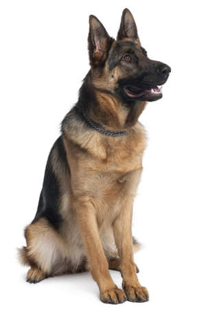 sitting up: German Shepherd dog, 10 months old, sitting in front of white background Stock Photo