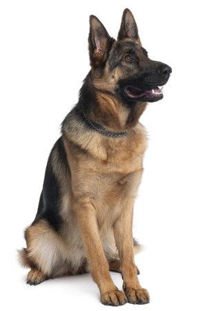 dogs sitting: Perro pastor alem�n, 10 meses de edad, sentado frente a fondo blanco