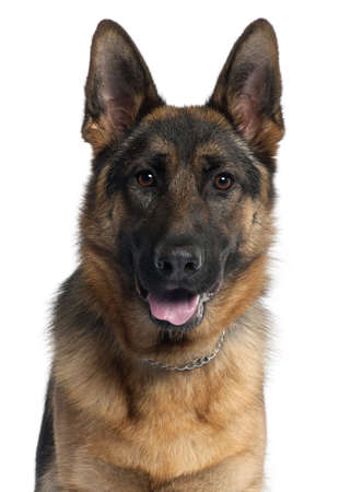 Close-up of German Shepherd dog, 10 months old, in front of white background Stock Photo - 9564326