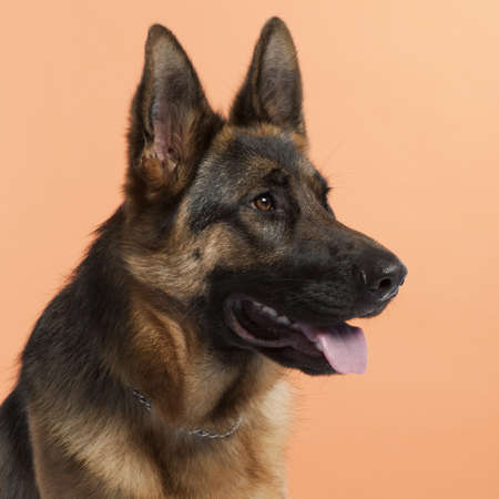 Close-up of German Shepherd dog, 10 months old, in front of orange background
