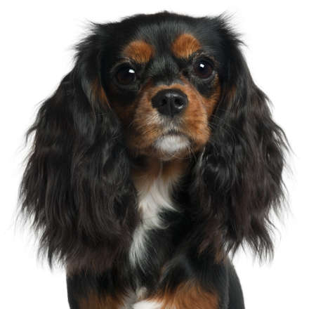 Close-up of Cavalier King Charles Spaniel, 11 months old, in front of white background photo