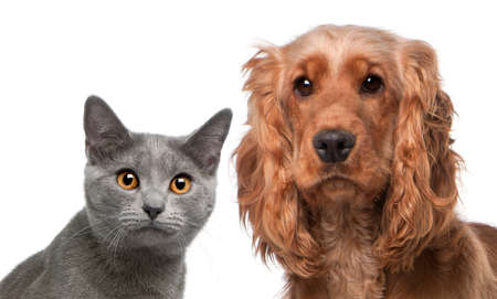 gray cat: Chartreux cat, 5 months old, and a English Cocker Spaniel, 2 years old, in front of white background