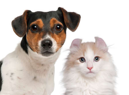 purebred cat: Jack Russell Terrier, 2 and a half years old and a American Curl kitten, 3 months old, in front of white background