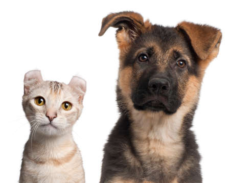 puppy and kitten: German Shepherd puppy, 3 months old and a American Curl kitten, 7 months old, in front of white background