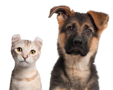 pastor de ovejas: Pastor alem�n cachorro, 3 meses de edad y un gatito Curl Americano, 7 meses de edad, de fondo blanco