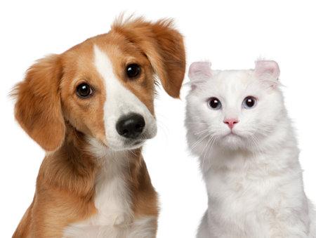 tete chien: Chiot de race m�lang�e, �g�s de 4 mois et un chat � American Curl, 1 et demi ans, en face de fond blanc