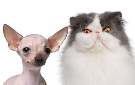 Hairless Chihuahua, 5 months old and a Persian cat, 9 years old, in front of white background photo