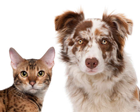 tete chien: Red Merle Border Collie, �g�s de 6 mois et un chat Bengal, 7 mois, en face de fond blanc Banque d'images