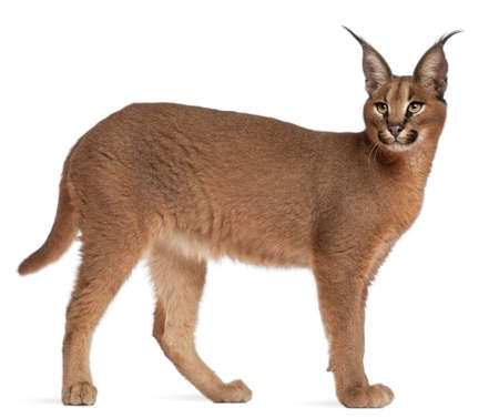 lynx: Caracal, Caracal caracal, 6 months old, in front of white background