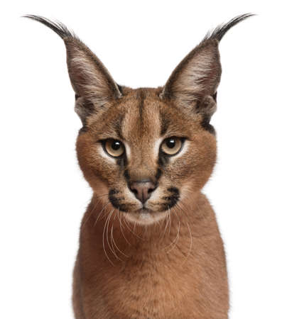 Close-up of Caracal, Caracal caracal, 6 months old, in front of white background Stock Photo - 9750329