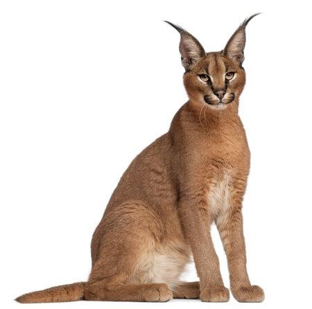 lynxs: Caracal, Caracal caracal, 6 mois, en face de fond blanc