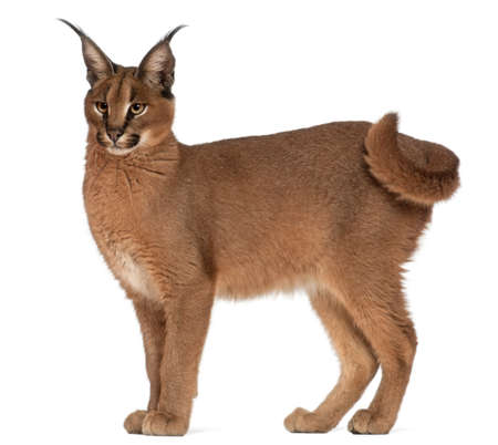 the lynx: Caracal, Caracal caracal, 6 months old, in front of white background