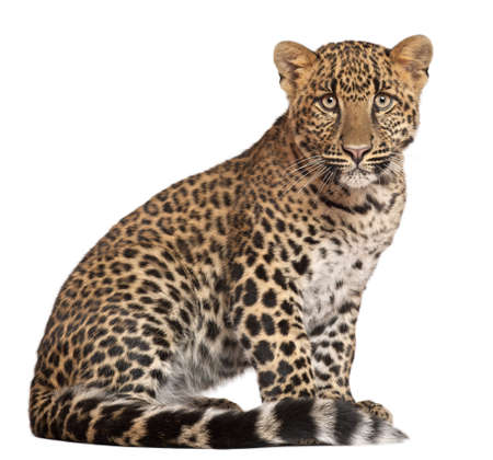 leopard: Leopard, Panthera pardus, 6 months old, sitting in front of white background