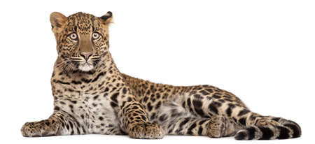 lying on side: Leopard, Panthera pardus, 6 months old, lying in front of white background