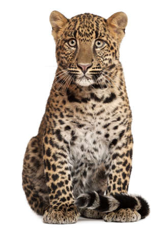 spotted: Leopard, Panthera pardus, 6 months old, sitting in front of white background