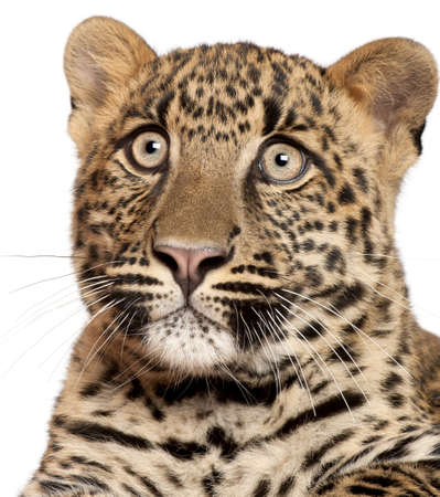 Close-up of Leopard, Panthera pardus, 6 months old, in front of white background photo