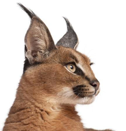 lynxs: Gros plan de Caracal, Caracal caracal, 6 mois, en face de fond blanc Banque d'images