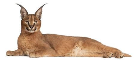 lince: Caracal caracal Caracal, 6 meses de edad, situada en frente de fondo blanco