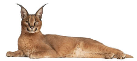 feline: Caracal, Caracal caracal, 6 months old, lying in front of white background Stock Photo