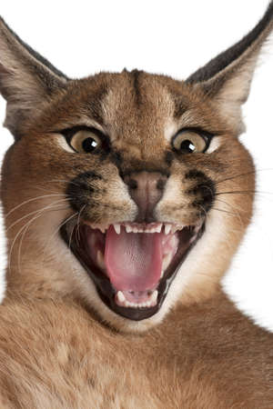 Close-up of Caracal hissing, Caracal caracal, 6 months old, in front of white background photo