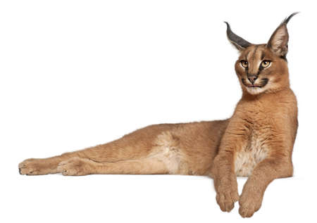 Caracal, Caracal caracal, 6 months old, lying in front of white background photo