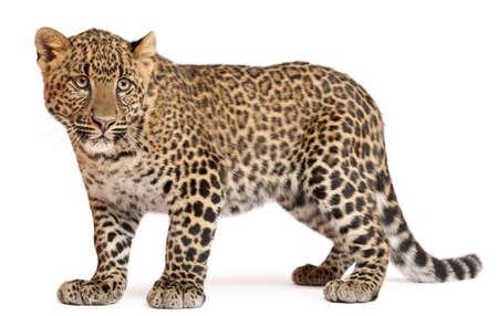 panthera pardus: Leopard, Panthera pardus, 6 months old, standing in front of white background