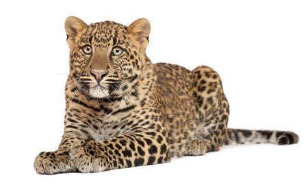panthera pardus: Leopard, Panthera pardus, 6 months old, lying in front of white background