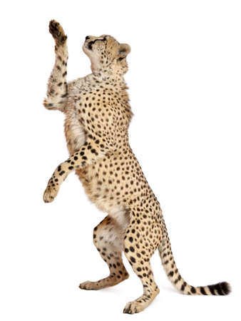 cheetahs: Cheetah, Acinonyx jubatus, 18 months old, standing up and reaching in front of white background Stock Photo