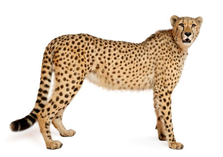 white tail: Cheetah, Acinonyx jubatus, 18 months old, standing in front of white background