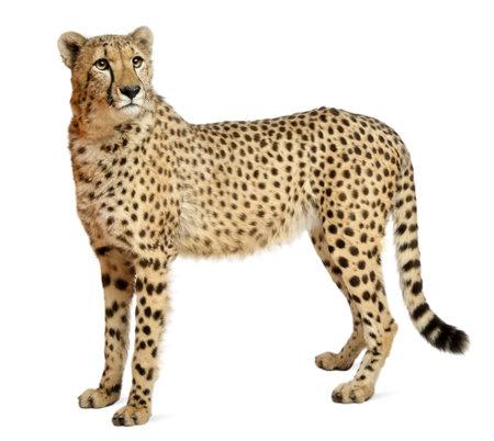 Gepard Acinonyx Jubatus, 18 Monate alt, vor weißem Hintergrund stehend