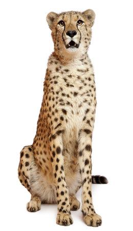 guepardo: Guepardo Acinonyx jubatus, 18 meses de edad, sentado delante de fondo blanco