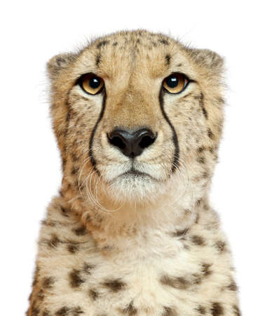 head and shoulders portrait: Close-up of Cheetah, Acinonyx jubatus, 18 months old, in front of white background Stock Photo