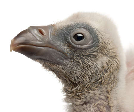 Close-up of Griffon Vulture, Gyps fulvus, 4 days old, in front of white background photo
